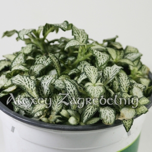 Fittonia White Anne